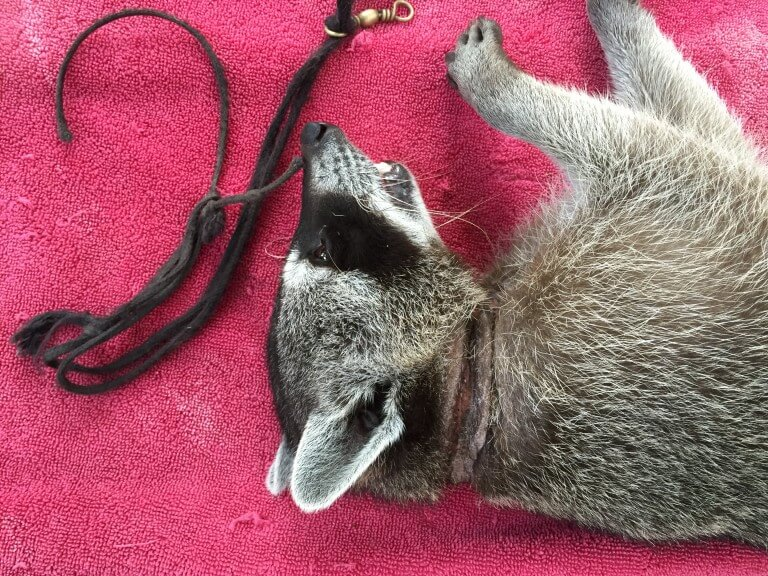 Read more about the article Racoon (<i> Procyon Procyon </ i>)