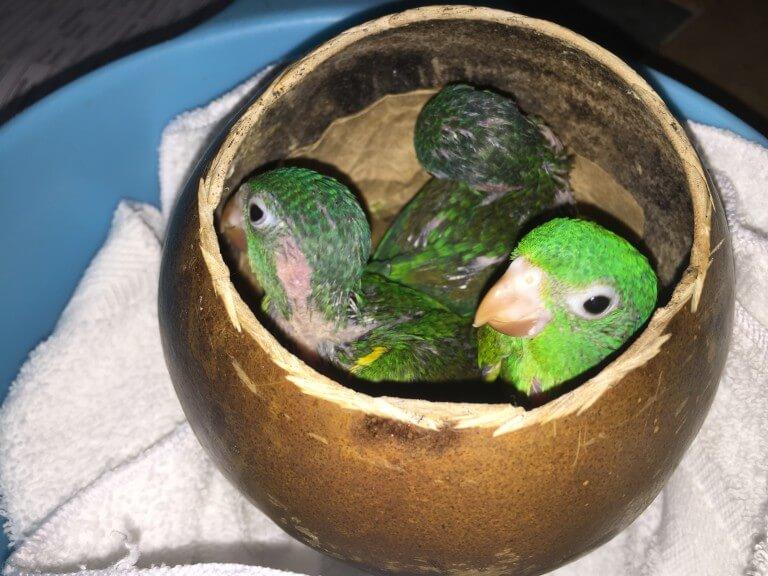 Read more about the article Orange-chinned Parakeet (<em>Brotogeris jugularis</em>)