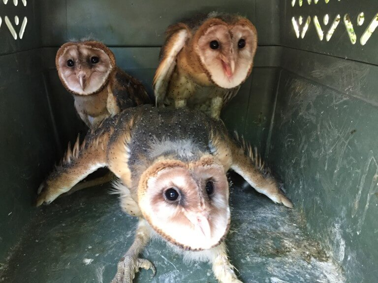 Read more about the article Barn Owl (<i>Tyto alba</i>)