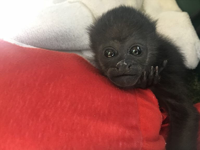 Lee más sobre el artículo Huérfana de mono Congo (<i>Alouatta palliata</i>)