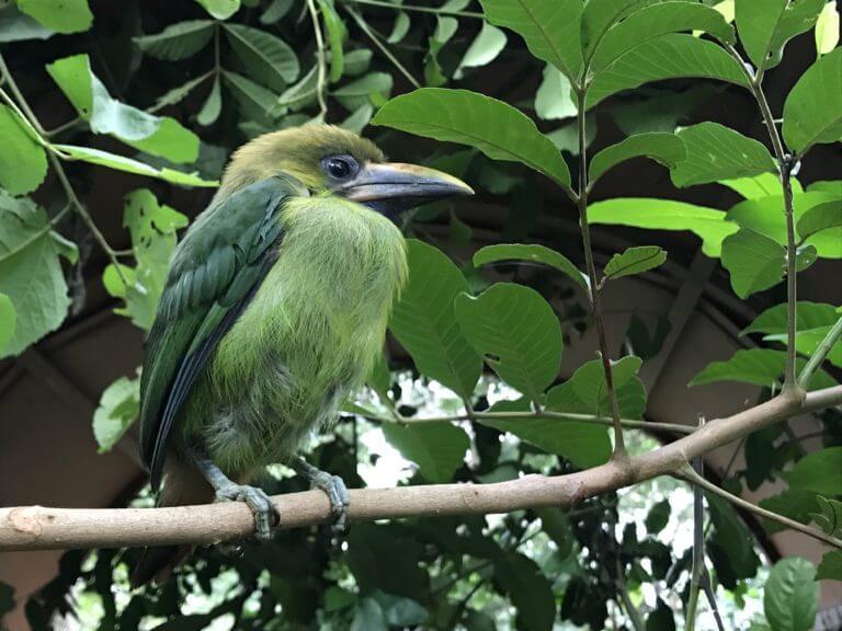 Lee más sobre el artículo Rescate tucán esmeralda