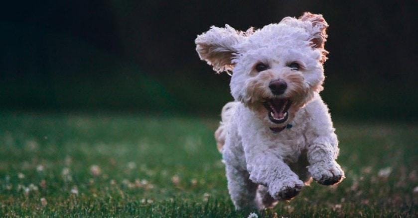 Little white dog running