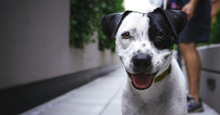 White dog with black spot