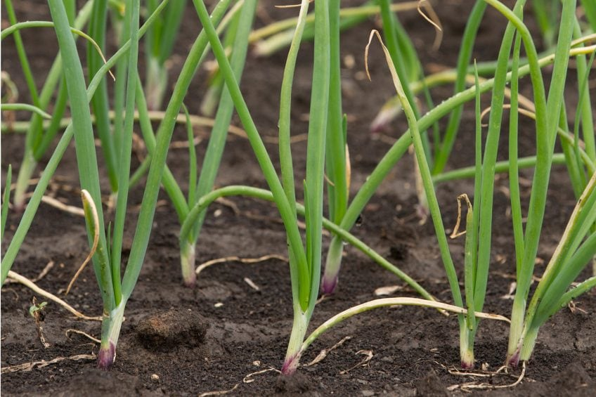 Trials evaluate the benefits of smart onion planting