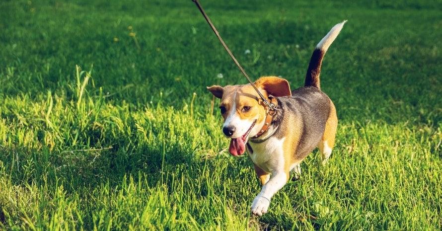 Beagle dog walking on green grass