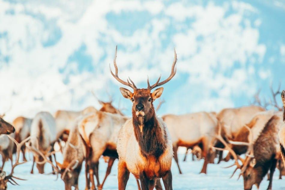 National Elk Refuge in Jackson Hole, Wyoming.