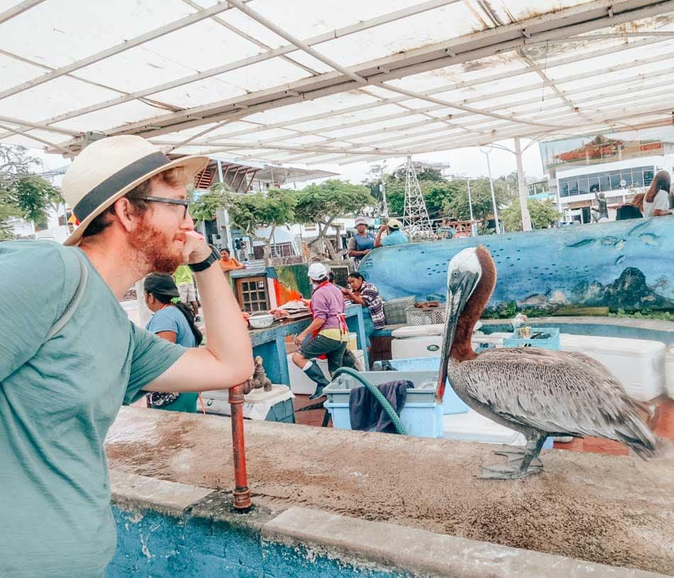 Man looking at a pelican at the Puerto Ayora fish market in Santa Cruz, Galapagos Islands.