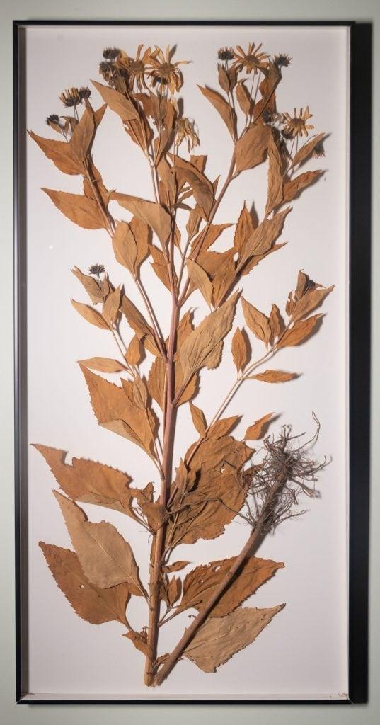 Heliopsis helianthoides