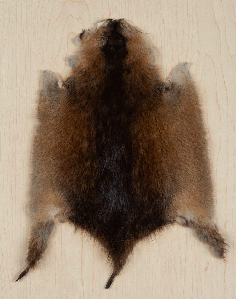 Fourrure de rat musqué