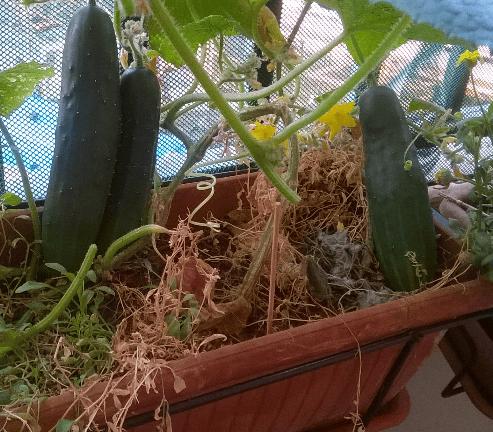 cetrioli 2018 balcone
