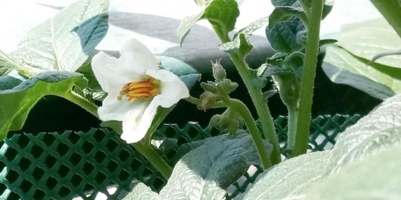 fiori di patata bio