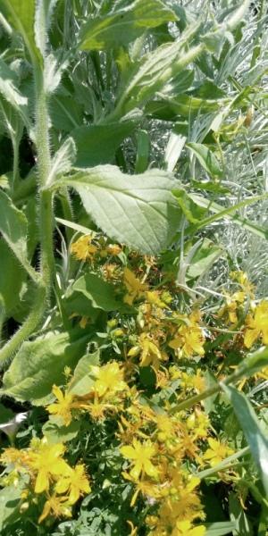 fiori iperico bio