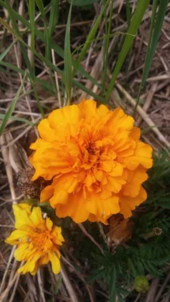 Fiore Tagete