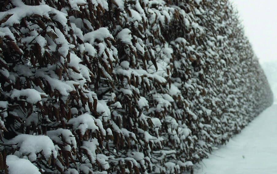 00000085-Carpinus-betulus-hornbeam-winter-foliage-retention-leaves-brown-snow