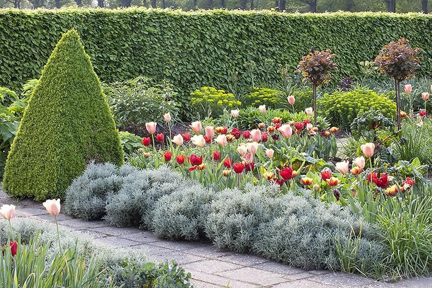 39179-Hornbeam-Carpinus-hedge-modern-country-cottage-garden-flowers-tulips-topiary-path