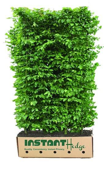 595837-Carpinus-betulus-hornbeam-InstantHedge-5-6-foot-unit-ready-ship-biodegradable-cardboard