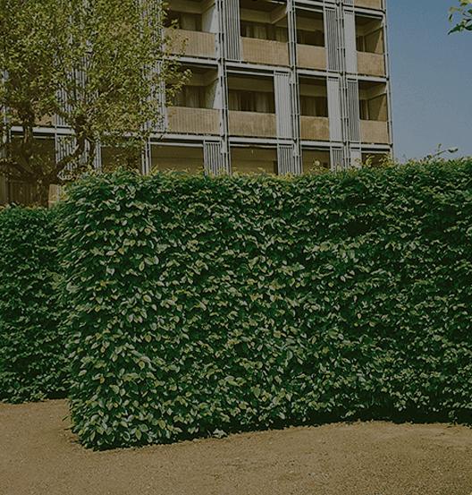 European Beech Hedge