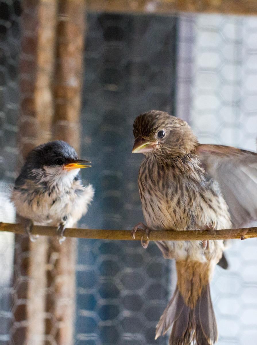 Pygmy Nuthatch (L), House Finch (R)