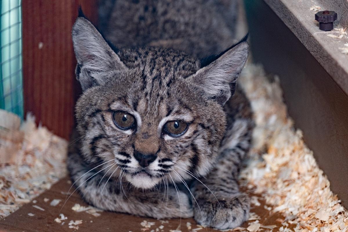 Bobcat_DSCF6174