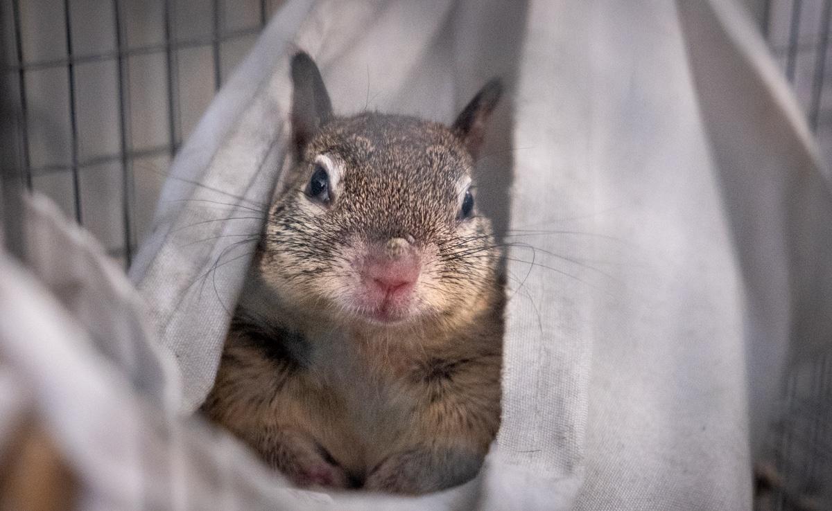 Squirrel, Ground