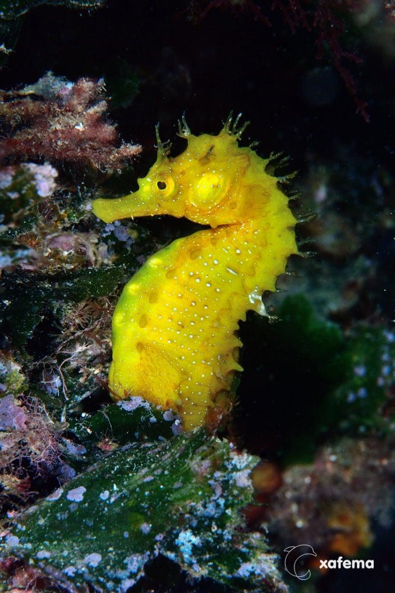 Caballito-amarillo