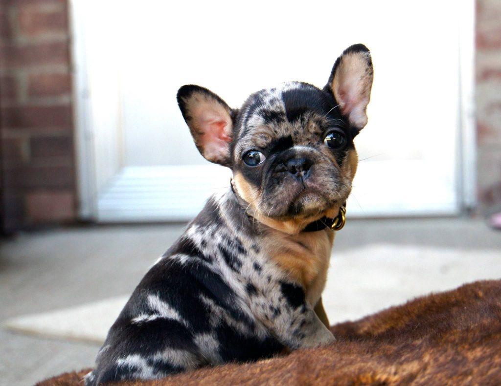 Tri Color French Bulldog