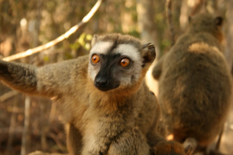 lemure madagascar