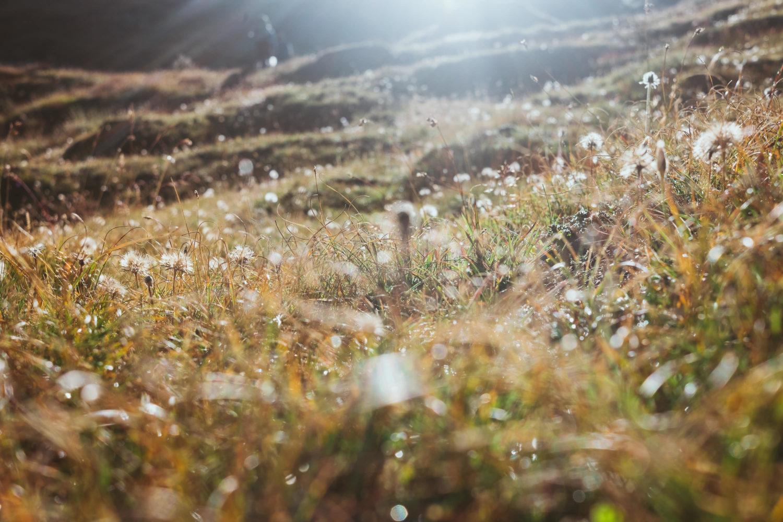 Feuchte Graslandschaft mit Pusteblumen in goldenem Licht