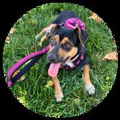 Élishia Sharie's miniature pinscher/chihuahua dog, Ellie, lying in the grass