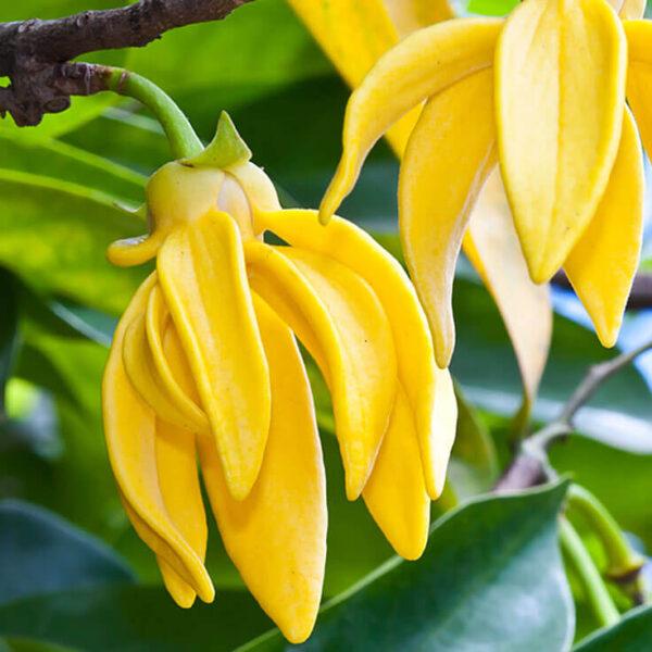 fiore dell'ylang ylang