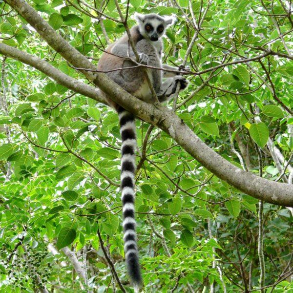 un lemure catta su un albero nella foresta