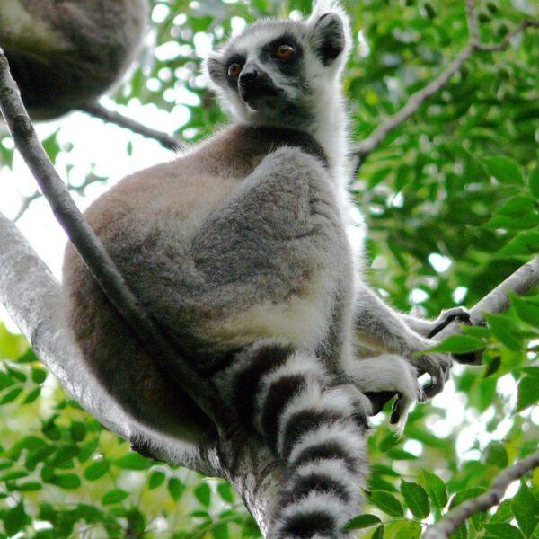 Primo piano di un lemure catta in Madagascar