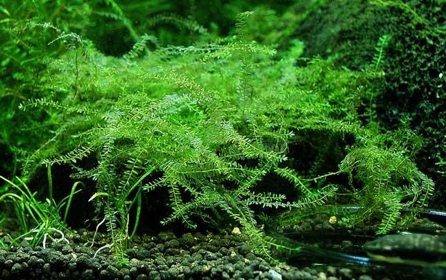 Aquarium nano moss