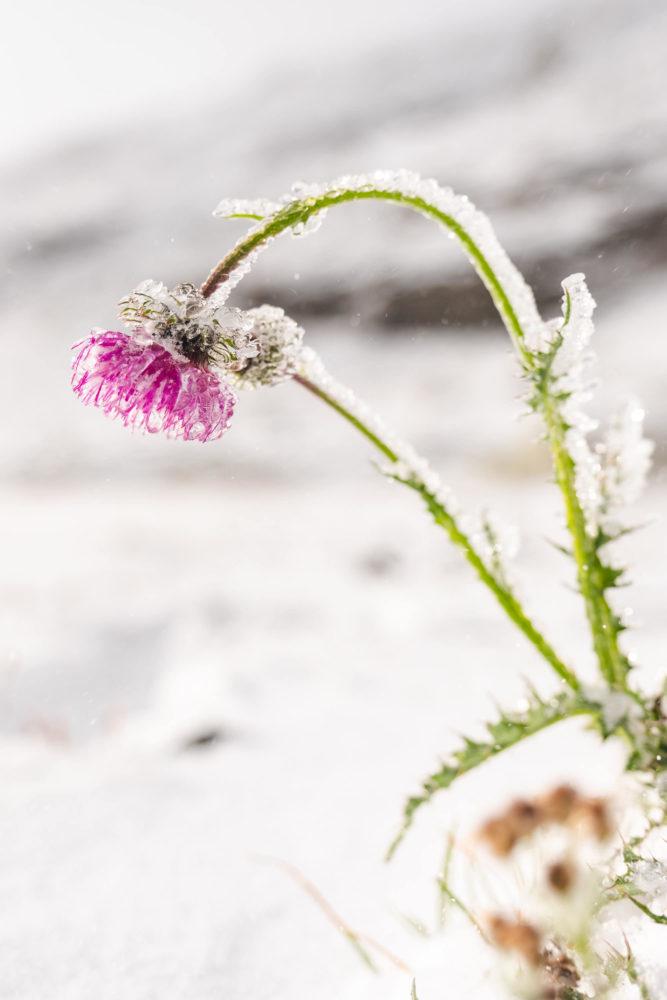 Gefrorene Blume in Schneelandschaft