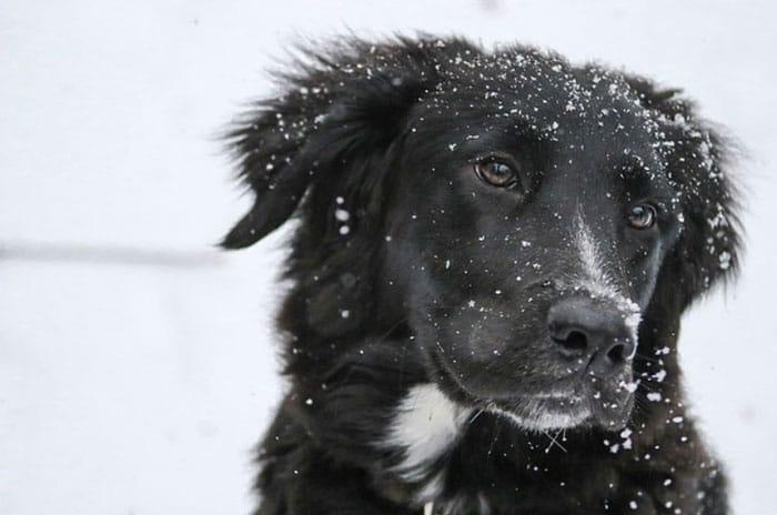 Border Collie Lab mix breed dog