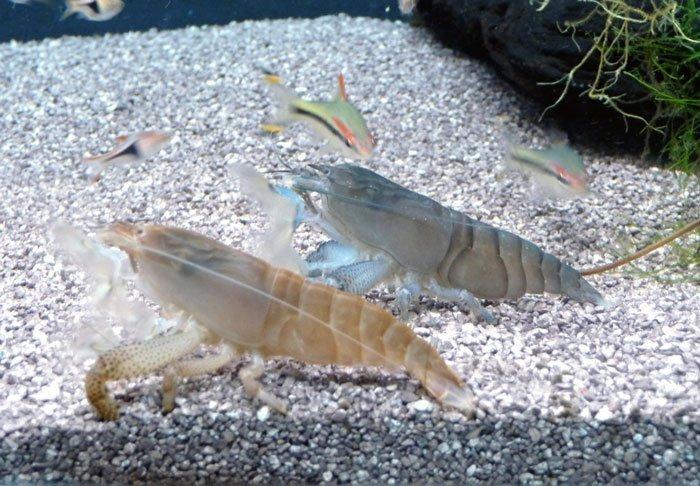 Vampire Shrimps in aquarium