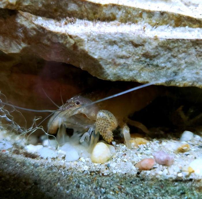 Vampire Shrimp