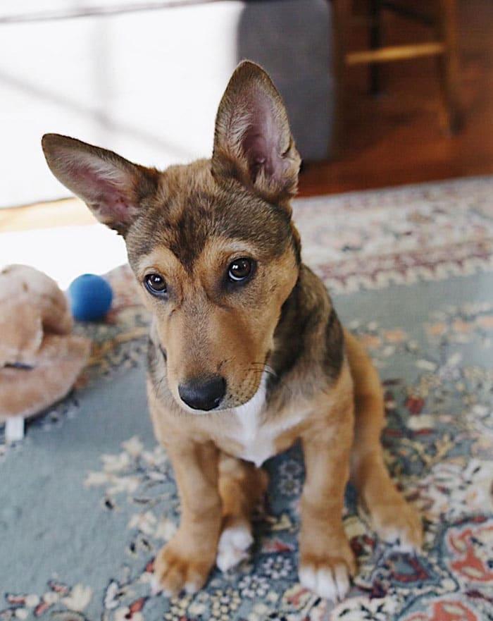 corman corgi german shepherd designer dog mix