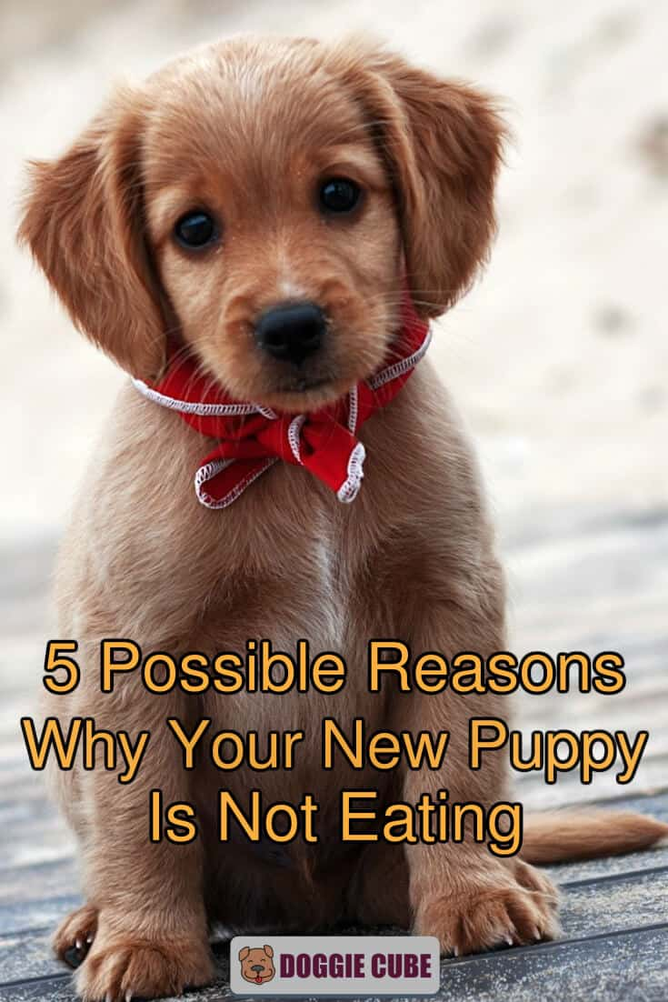 5 possible reasons why your new puppy is not eating.