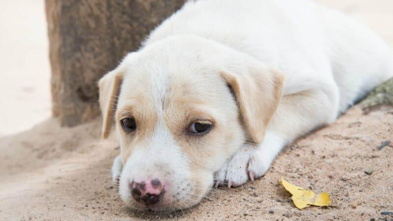Dog suffering from diarrhea