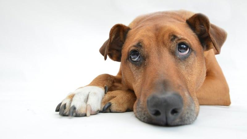 Sad dog with skin rashes
