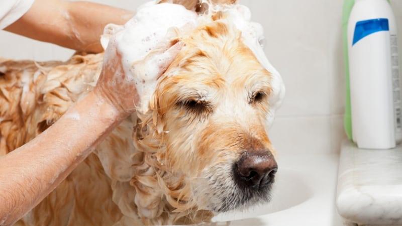 Applying shampoo to a dog's head