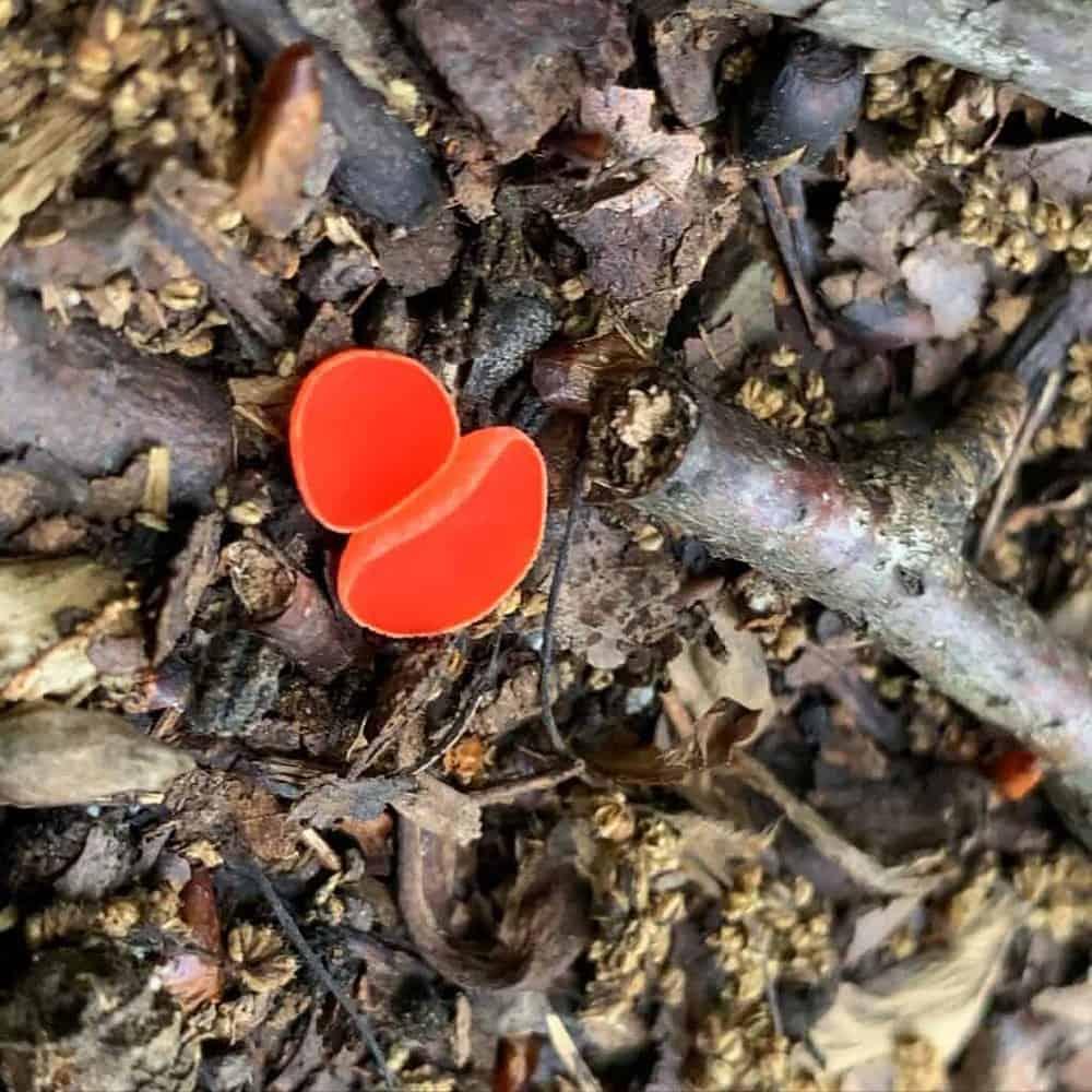 little pine state park mushroom 3