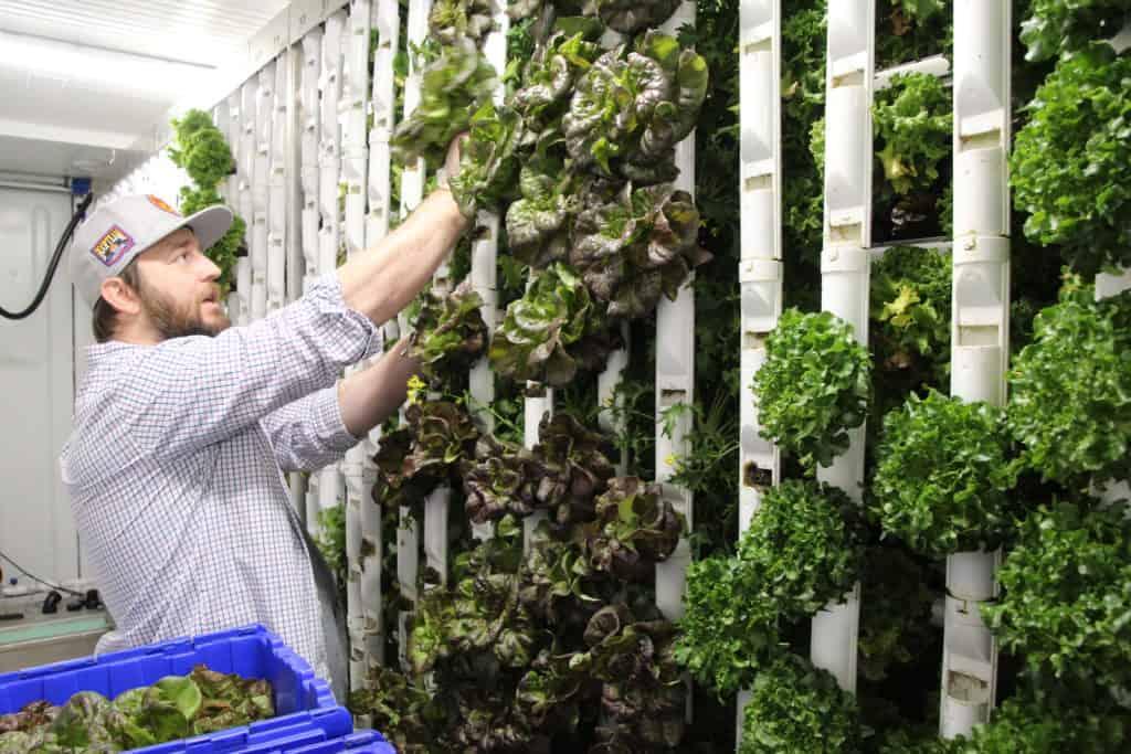 GardenBox manager harvesting lettuce