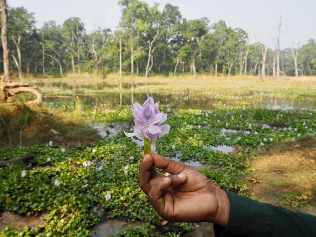 Im Chitwan Nationalpark blüht Lotus