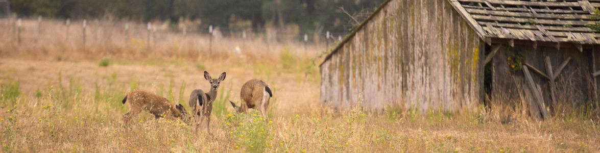 Deer grazing on Muir Wood campus
