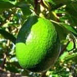 Avocado Oil Cooking