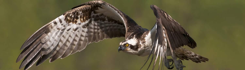 Slider 3 – Fischadler im Flug
