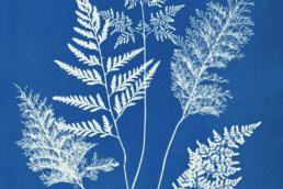 Anna Atkin cyanotype
