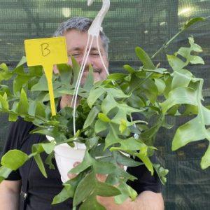 AAAF: Large plant of Marniera (Epiphyllum) crysocardium B (EU only)